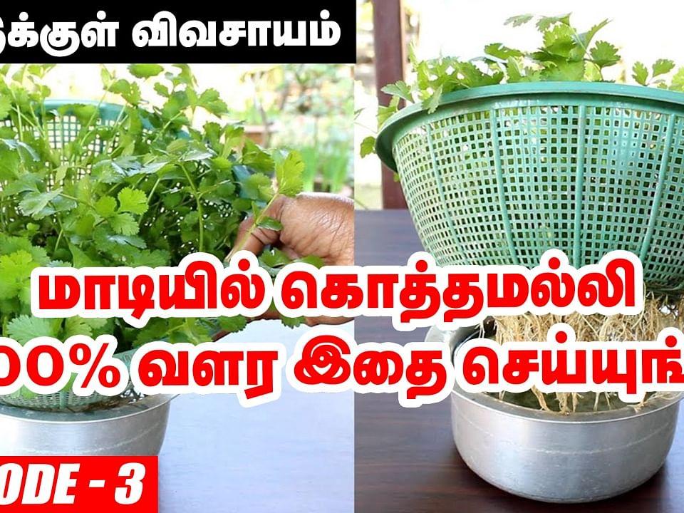 வீட்டில் ஈஸியா வளர்க்கலாம் கொத்தமல்லி செடி!   How to Grow Coriander Leaves in Terrace Garden