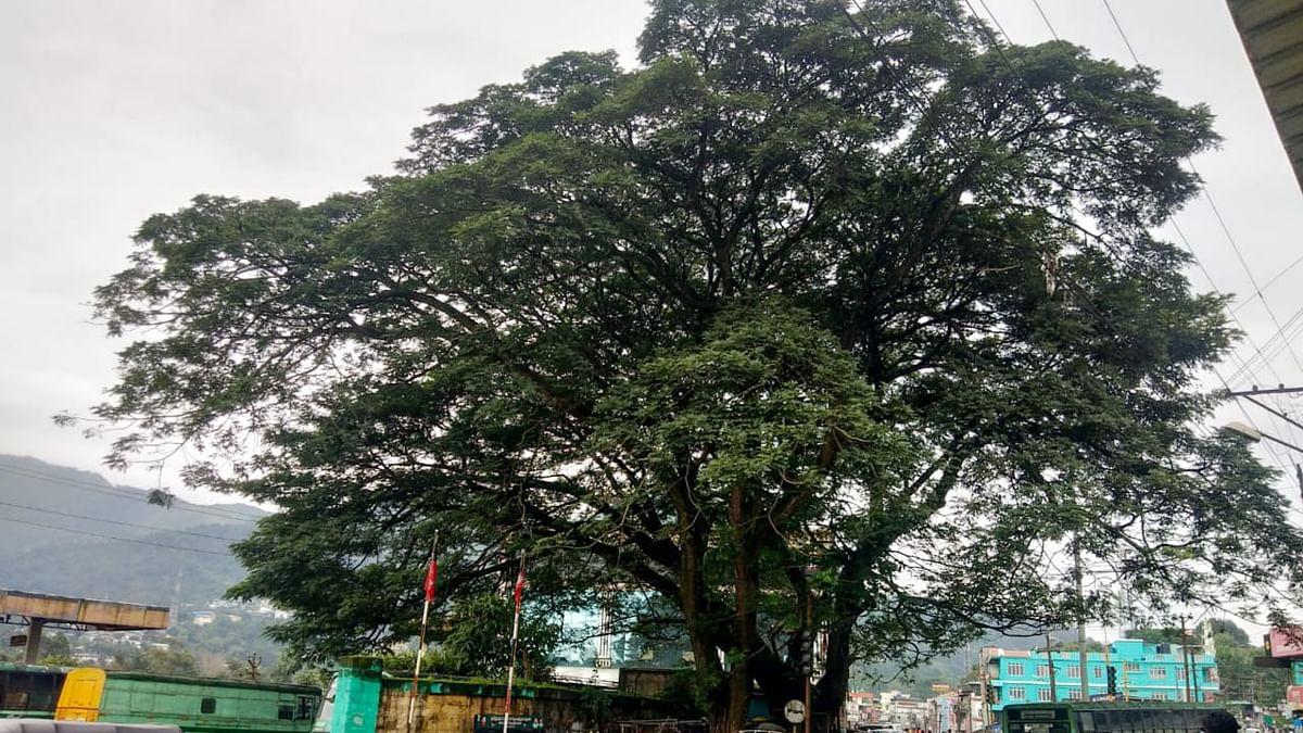 Albizia lebbeck Trees