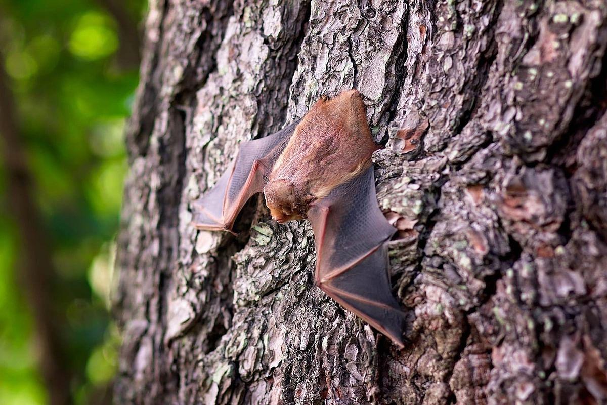 Bats (Representational Image)