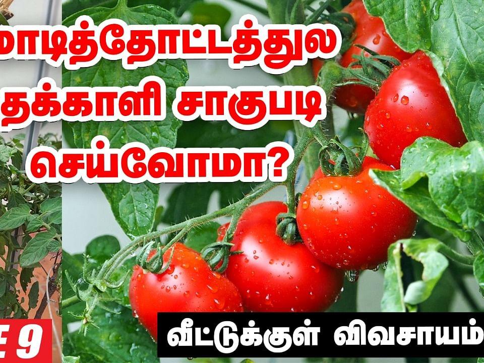 மாடித்தோட்டத்துல தக்காளி சாகுபடி செய்வோமா?   Tomato in Terrace Garden   Pasumai Vikatan