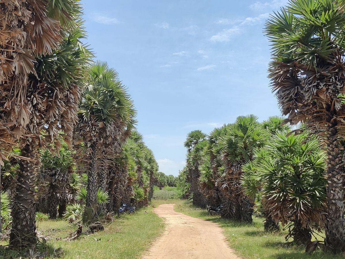 `ஒரே இடத்தில் 10,000 பனை மரங்கள்!' - விவசாயியின் முயற்சியால் உருவான பனைமர குறுங்காடு