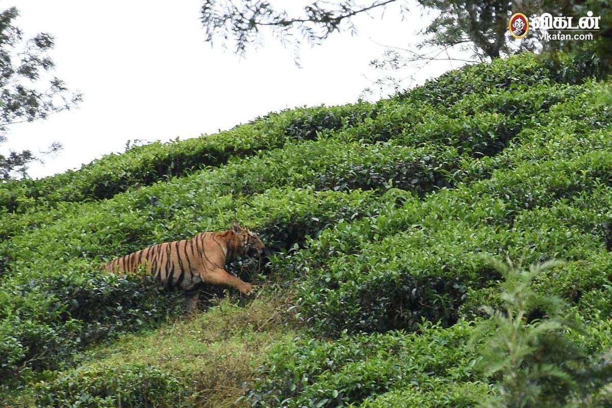 Tiger t23