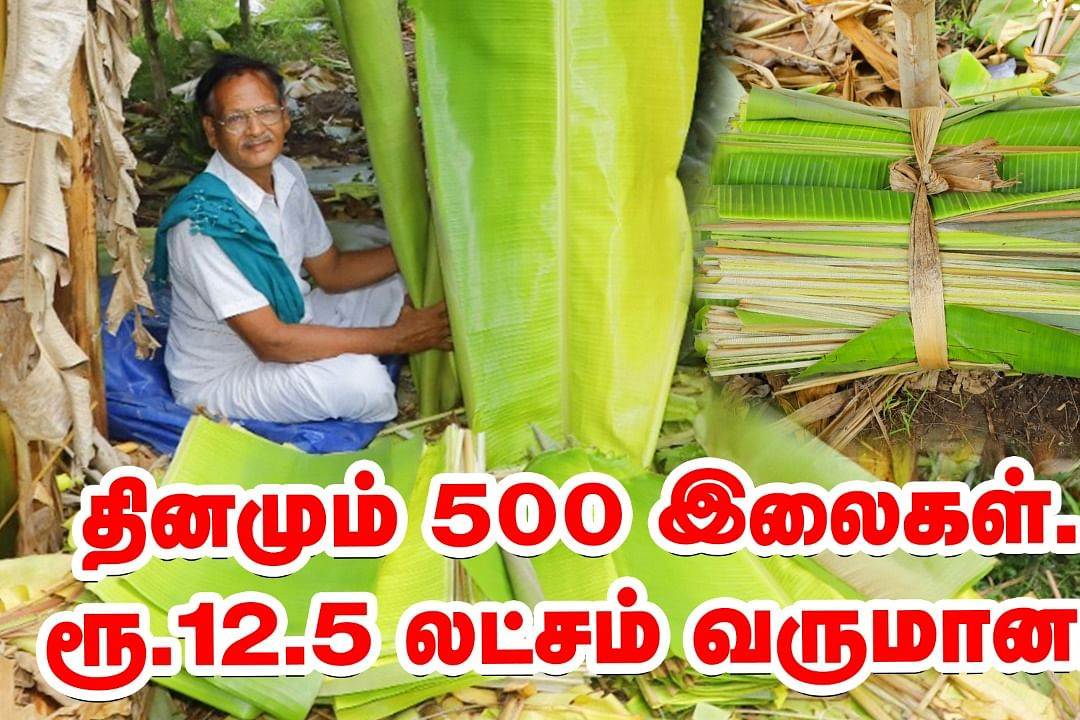 ஏக்கருக்கு 12.5 லட்சம் வருமானம்; நம்பிக்கை தரும் வாழை இலை விவசாயம்! | Banana Leaf | Pasumai Vikatan