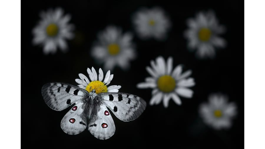 An Apollo butterfly lands on an oxeye daisy in the Haut-Jura Regional Nature Park, eastern France, as shot by French photographer Emelin Dupieux.