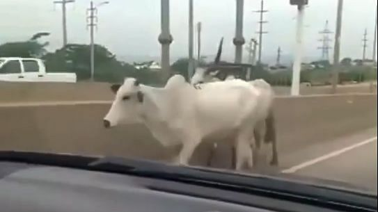 Angry motorists react as strayed cows cause accident on Abuja highway