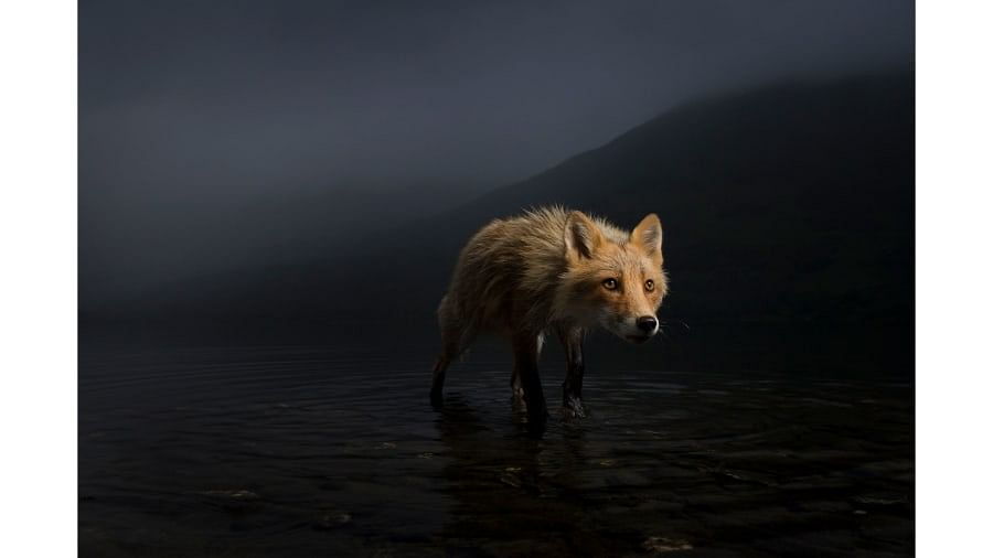 US photographer Jonny Armstrong captured this fox searching for salmon carcasses in Alaska.