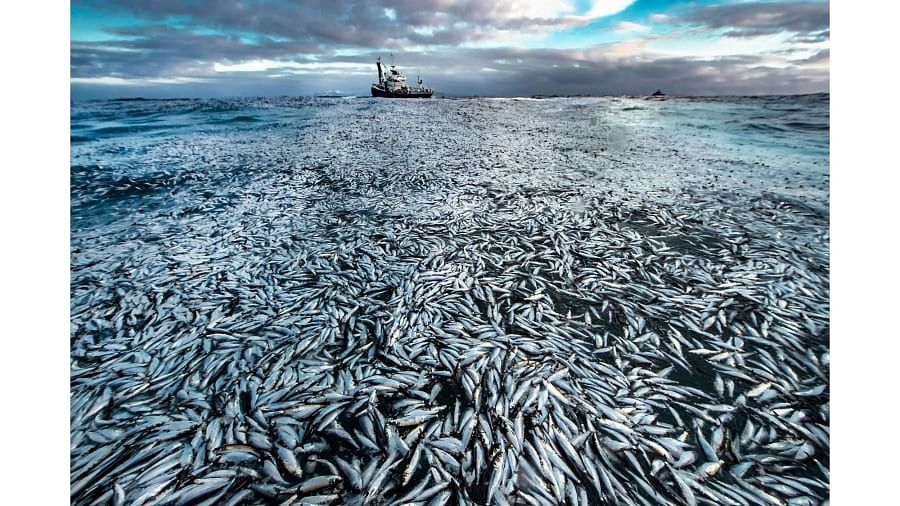 Norwegian photographer Audun Rikardsen's image of a slick of dead and dying herrings was used as evidence in a court case against the owner of a fishing boat.