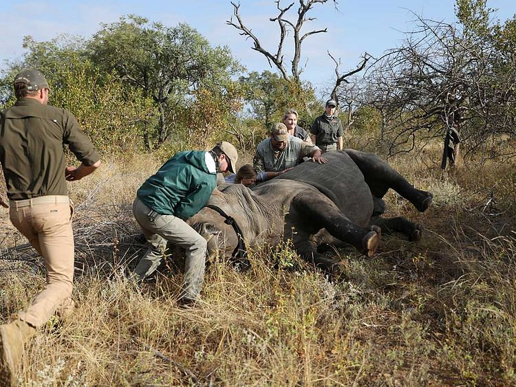 Rhino poachers returns after South Africa eases lockdown restrictions