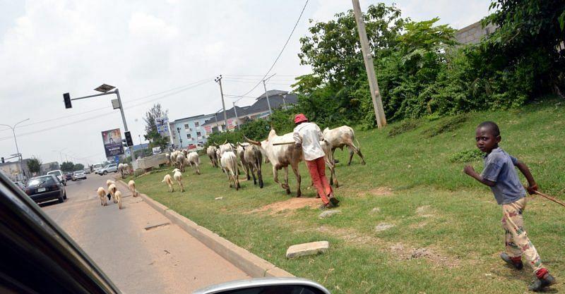 PHOTOS: Cows freely roam Abuja streets