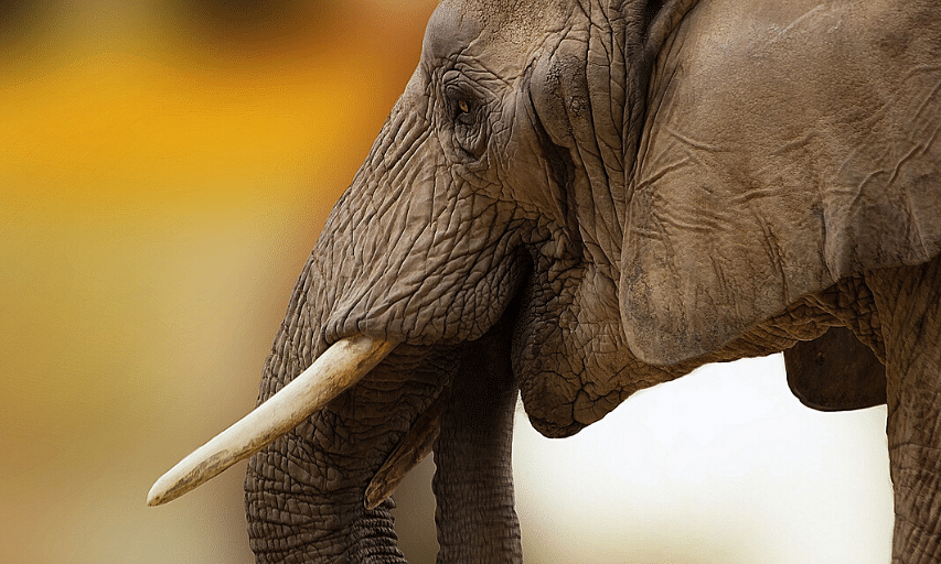 African Elephant, as found across Botswana