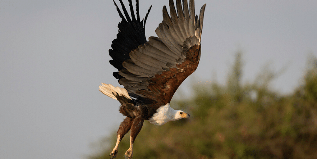 Fish eagle takes flight, Magashi