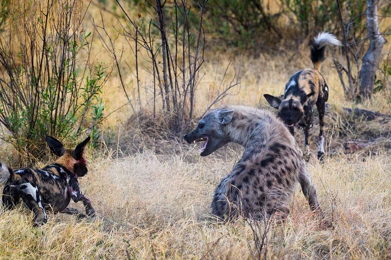 Hyena and wild dog fight
