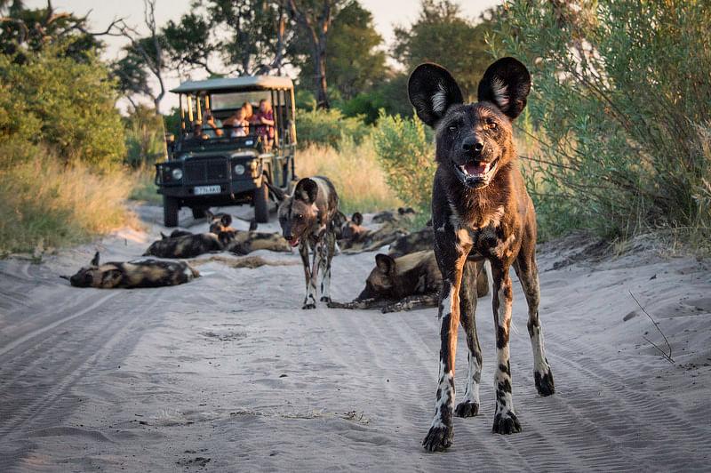 Wild dog sighting on game drive