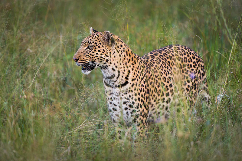 Long grass and leopard