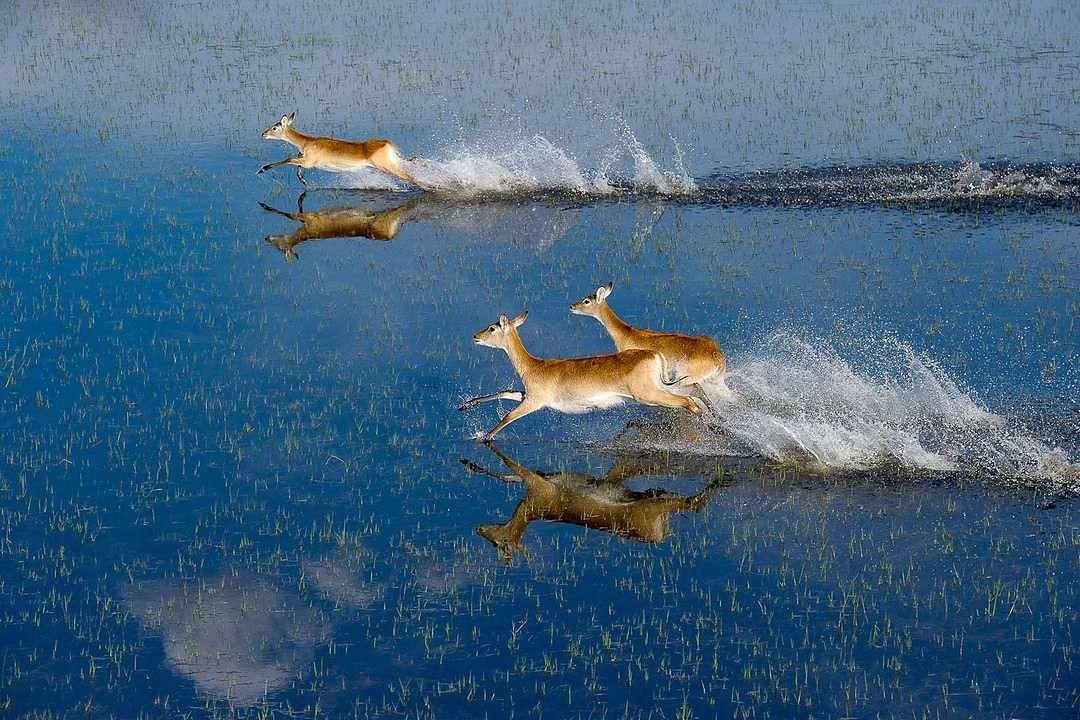 Lechwe running