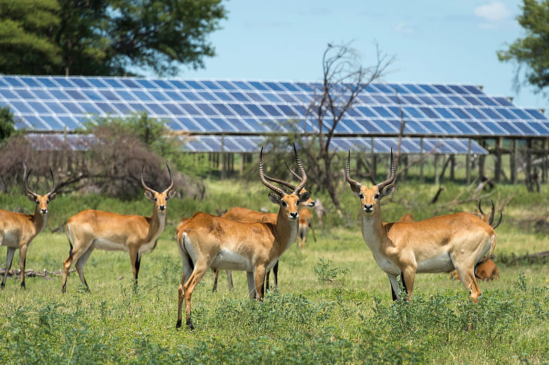 Lechwe at Mombo in front of solar panels