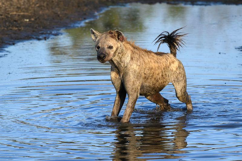 Hyena spotting