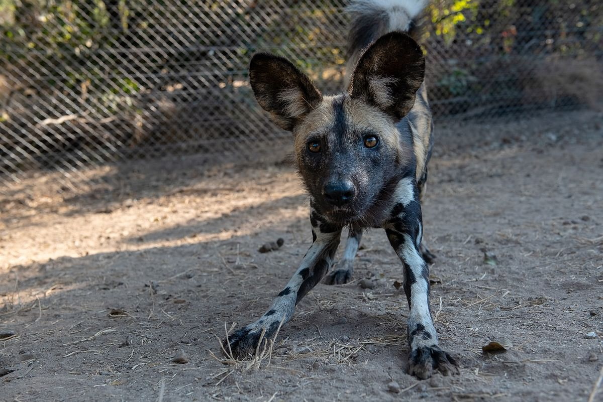 Wilderness & PDC Release Wild Dog Pack Into Mana Pools Park