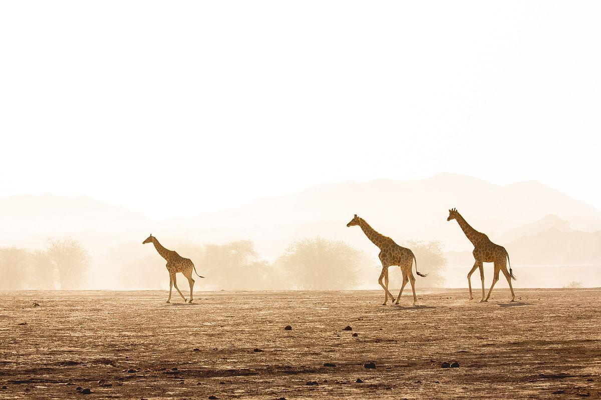 Desert Giraffe