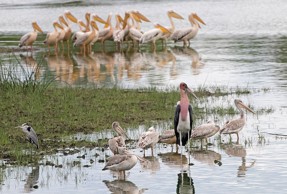 Pink-backed and great white pelicans together with grey heron and marabou stork