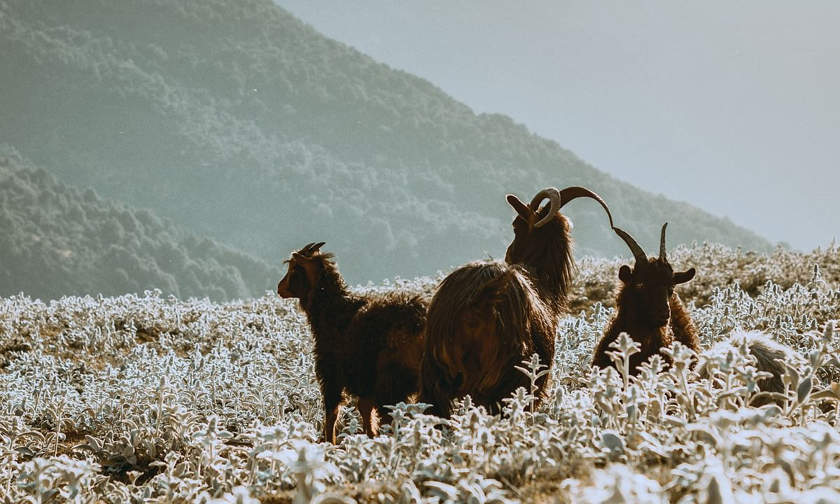 Why I Love Goats