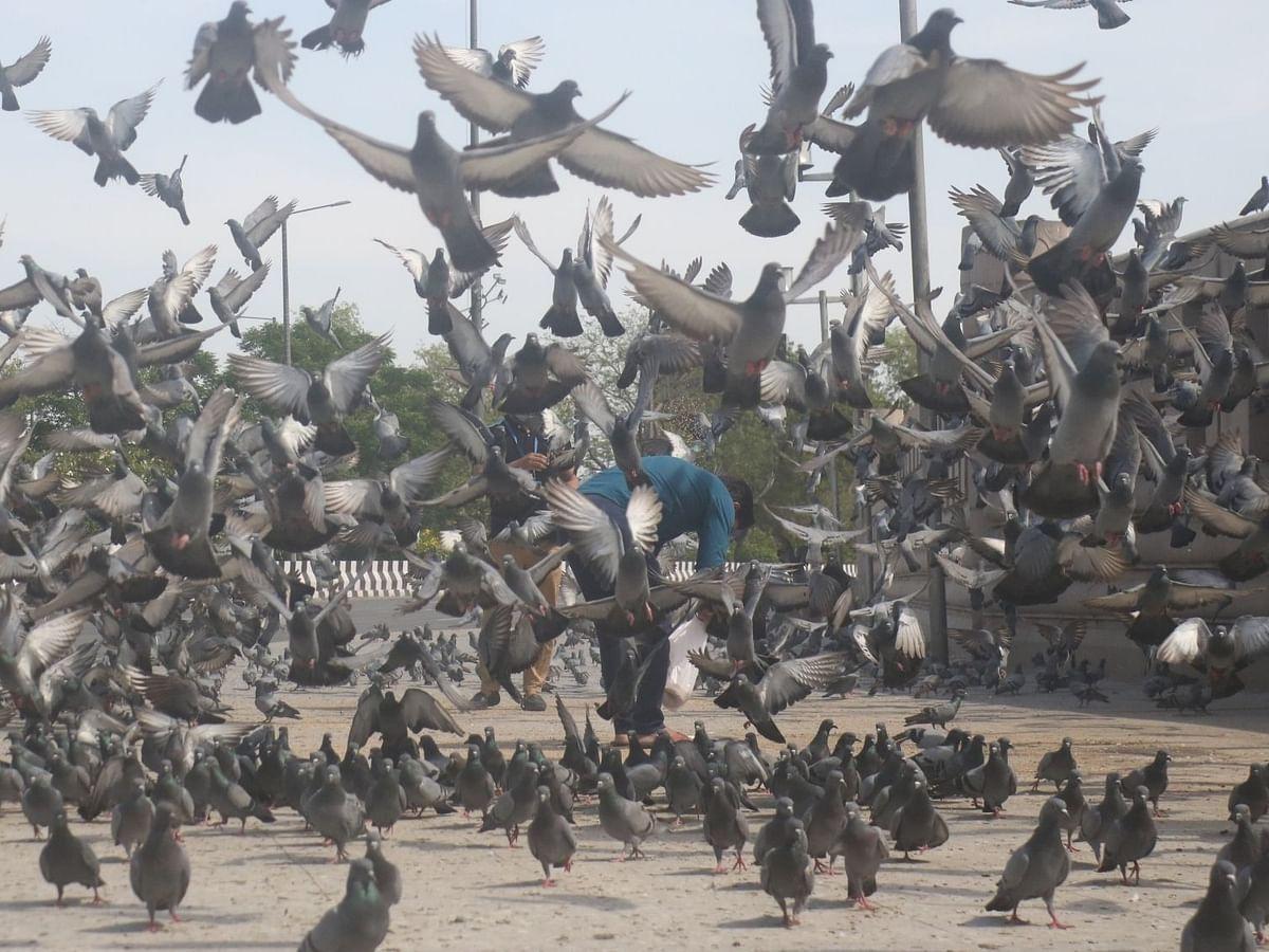 बागपत: युवक ने 'अपमान' का बदला लेने के लिए 11 कबूतरों को मार डाला