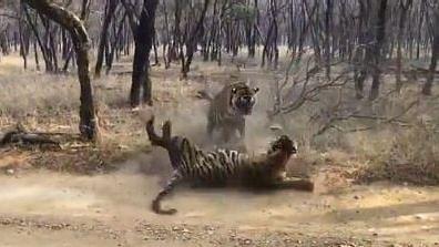 कैसा दिखेगा मंजर जब आपस में ही लड़ पड़ेंगें जंगल में दो टाइगर, खुद देखें वायरल हो रहा है ये खतरनाक Video
