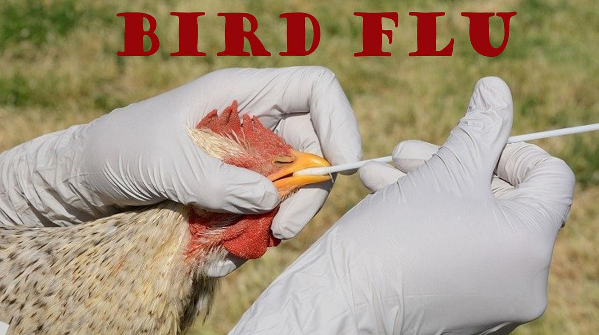 मध्य प्रदेश और राजस्थान के बाद अब केरल और हिमाचल में बर्ड फ्लू का प्रकोप, सैकड़ों बत्तखों व पक्षियों की मौत