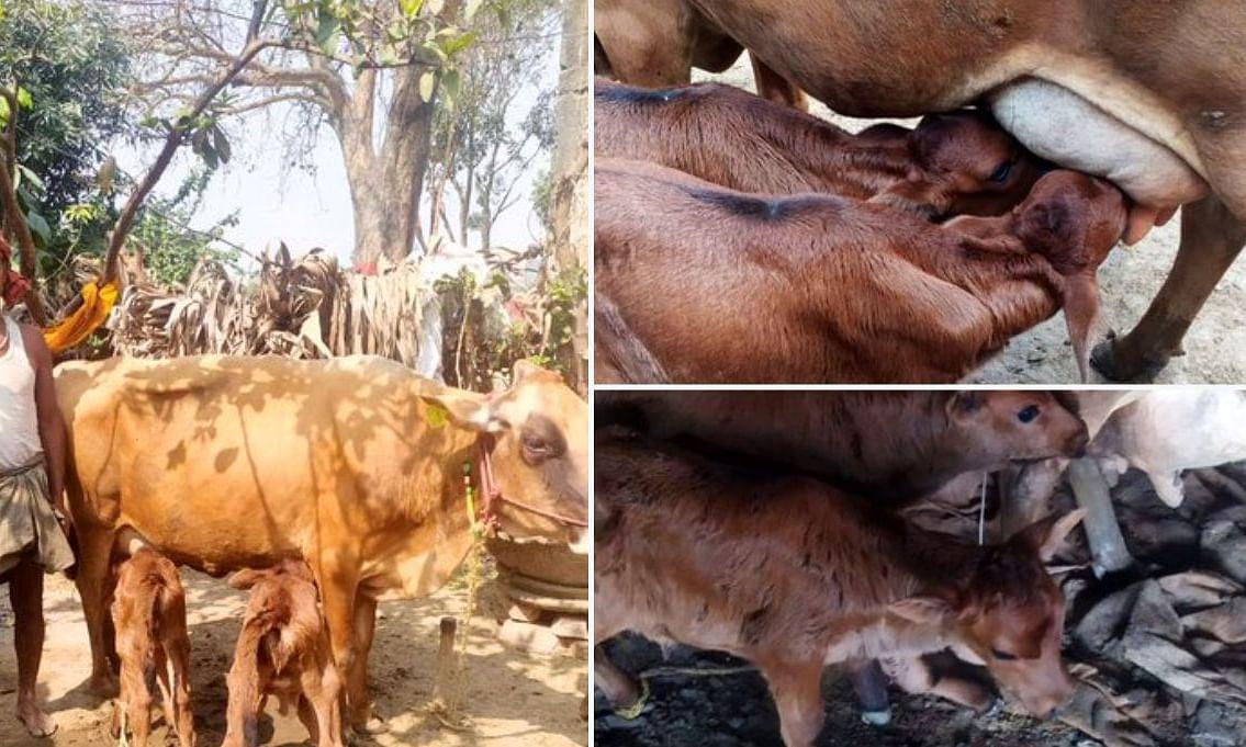 बिहार: गाय ने एक साथ दिया 2 बछिया को जन्म, गिरिराज सिंह ने ट्वीट कर शेयर की जानकारी