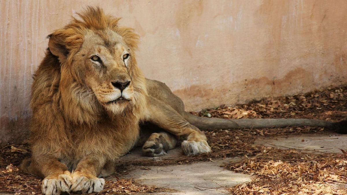 गुजरात में पिछले 2 सालों में हुई 313 शेरों की मौत