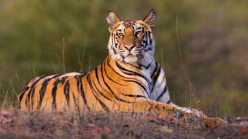 उत्तर प्रदेश: बाघ के हमले में 2 लोग घायल