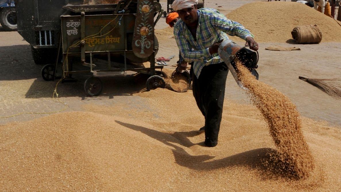बीते 15 दिनों में हुई 78392 टन गेहूं की सरकारी खरीद
