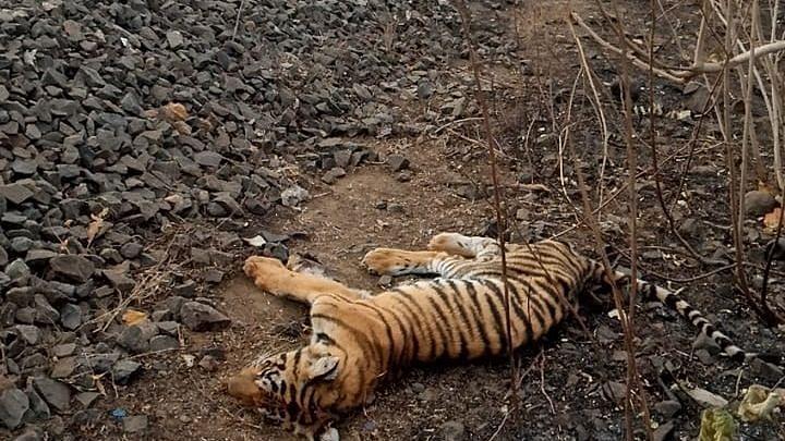 बैतूल में ट्रेन से कटकर बाघ के शावक की मौत