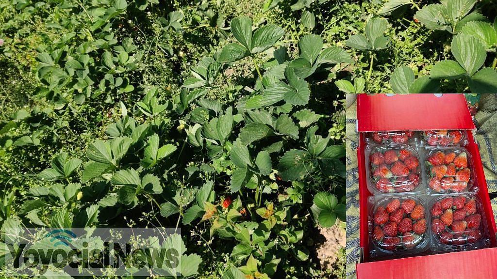 कश्मीर में लॉकडाउन के कारण किसानों को हो रहा स्ट्रॉबेरी का नुकसान