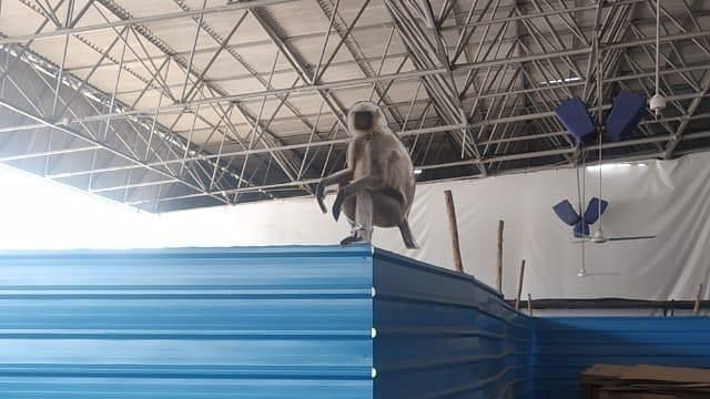 कोविड केंद्र में बंदरों के खतरे का मुकाबला करने के लिए लंगूर के कटआउट
