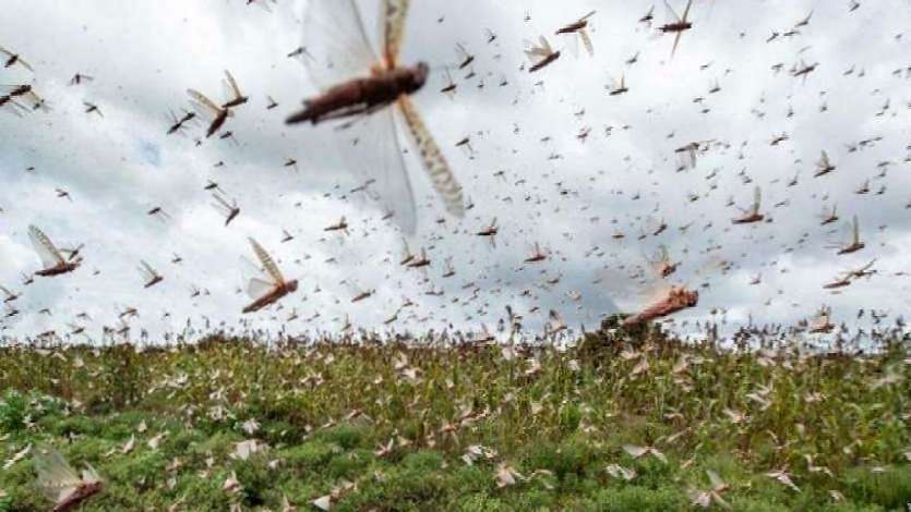 उप्र: टिड्डी दल के हमले को लेकर किसानों को चेतावनी