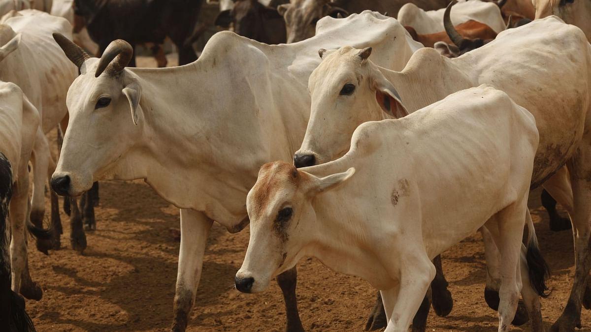 गायों के साथ दुर्व्यवहार के लिए न्यूजीलैंड के किसान पर जुर्माना