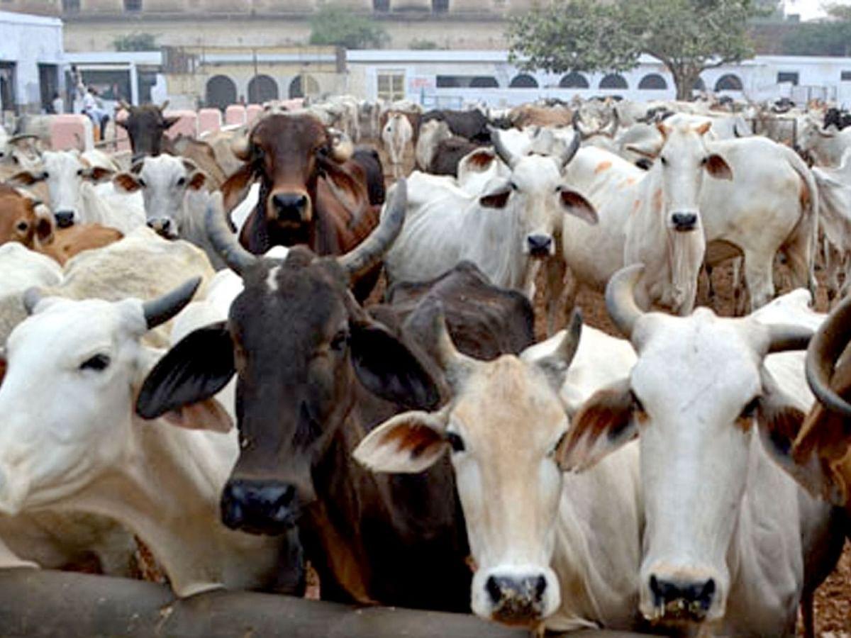 यूपी के मौलवी ने गाय को राष्ट्रीय पशु बनाने के हाई कोर्ट के सुझाव की सराहना की